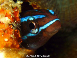 A Blue Blenny for the new year! by Chad Ordelheide